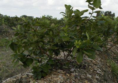 blauwe bessen plant 1e jaar